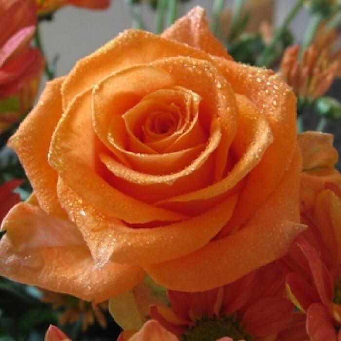 Роза корен Sunset Dreams